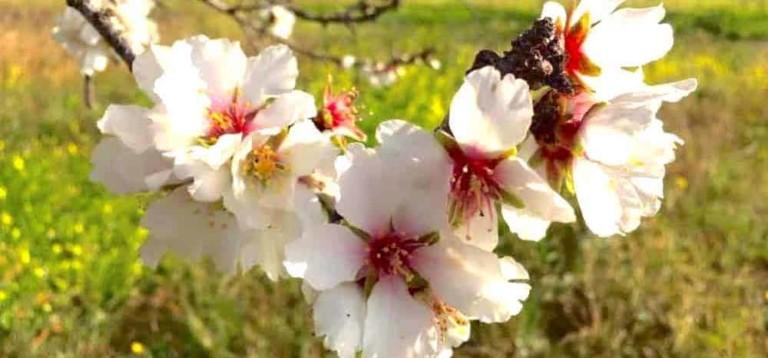 Almendros en flor en Ibiza: Descubre el Pla de Corona