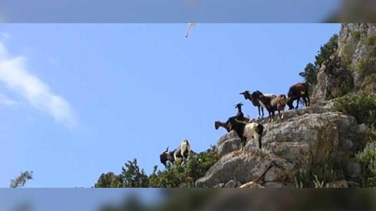 Umstrittener Abschied von den Ziegen von Es Vedrà auf Ibiza