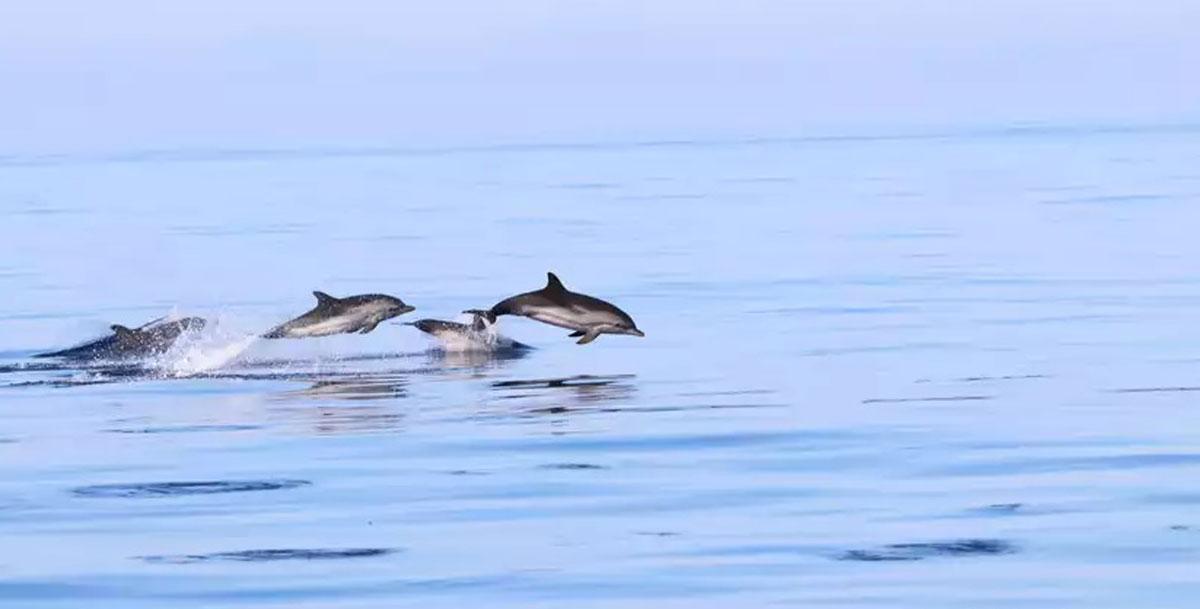dolphins-ibiza-welcometoibiza