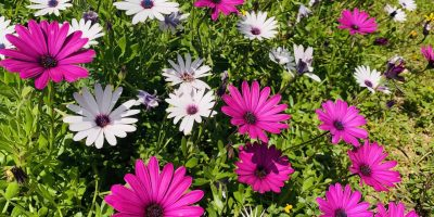 flores de ibiza