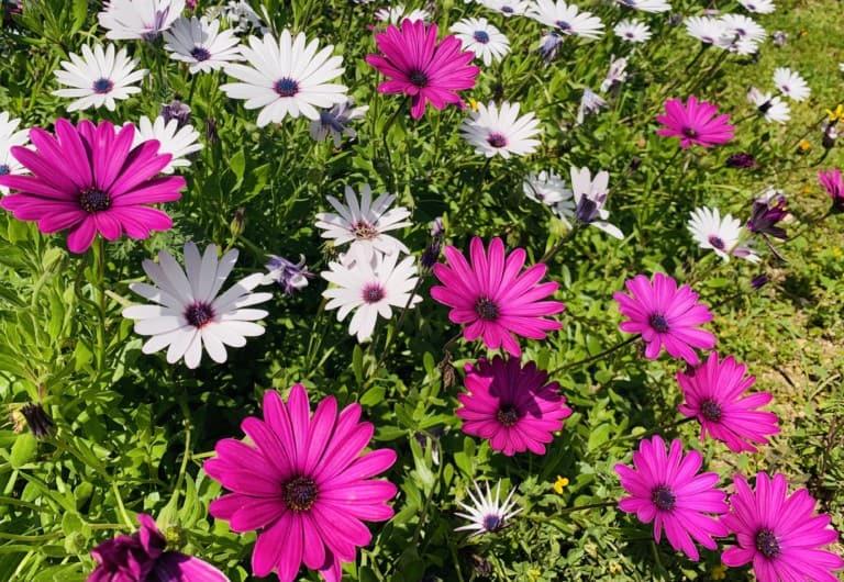 цветы ибицы
