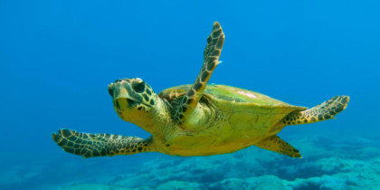 turtle-caretta-caretta-welcometoibiza